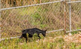 Single black goat next to wire fence. Single black goat walking next to a wire fence in tall brush Stock Photo