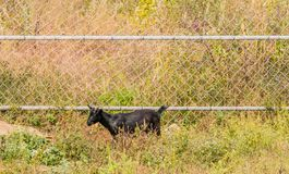 Single black goat standing next to fence Stock Photography
