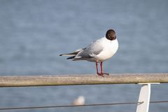 Blacheaded Gull at Hythe Pier, Hampshire, UK stock images