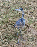 A single Black Headed Heron standing in grass Royalty Free Stock Images