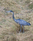 A single Black Headed Heron standing in grass Royalty Free Stock Photography
