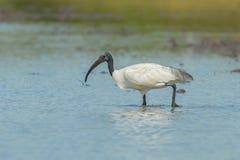 Single Black-headed ibis(Threskiornis melanocephalus) Royalty Free Stock Photography