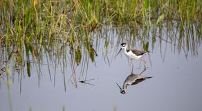 Black-necked stilt Himantopus mexicanus. A single black-necked stilt Himantopus mexicanus wading in a shallow pond stock image