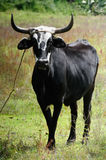 A single black ox. A single black and white ox with long horns on a field Royalty Free Stock Images