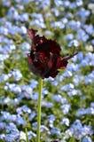 Single black parrot tulip flower head, Royalty Free Stock Photo