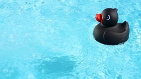 A single Black Rubber Duck is swimming in the pool stock footage