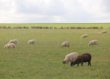 Single Black Sheep Grazing with White Sheep Stock Image