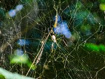 Black spider on its web in a tropical garden. A single Black spider are air-breathing arthropods that have eight legs and chelicerae with fangs that inject royalty free stock images