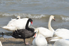 Black and white swans Royalty Free Stock Photography