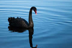Single black swan on blue water Stock Images