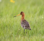 Single Black-tailed Godwit bird on grassy wetlands during a spri. Ng nesting period Stock Photos