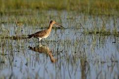 Single Black-tailed Godwit bird on grassy wetlands in spring season. Single Black-tailed Godwit bird on grassy wetlands during a spring nesting period stock photo