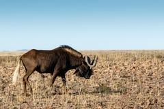 Single Black Wildebeest in the field stock photos