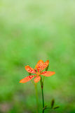 Single Blackberry Lily closeup Royalty Free Stock Images