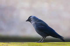 Single blackbird shallow depth of field Stock Photography