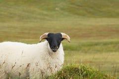 Single blackhead sheep royalty free stock photos