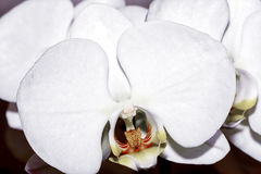 Single bleach orchid Stock Photos