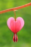 Single bleeding heart blossom outdoors Royalty Free Stock Photography