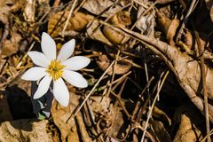 Single Bloodroot Wildflower – Sanguninaria Canadensis. Bloodroot is a wildflower in the Poppy family Papaaveraceae. The flower has crisp white daisy like royalty free stock photos