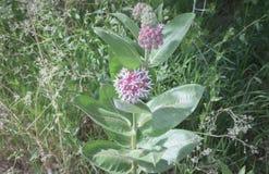 Single Bloom In Meadow Of Beautiful Pink Blooming Milkweed Plants Asclepias speciosa. Leaf Detail stock images