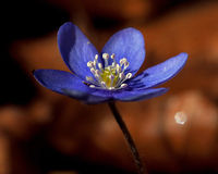 A single blooming anemone hepatica in macro Royalty Free Stock Image