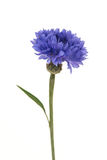 Single blooming blue cornflower Stock Photography