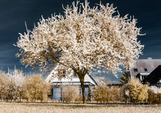 Single blooming cherry tree in infrared view Royalty Free Stock Photography