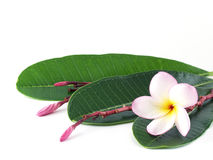 Single Blooming Pink Yellow Plumeria Or Frangipani &x28;temple Tree&x29; With Red Flower Stem And Green Leaves Isolated On White Royalty Free Stock Photos