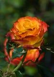 Single blooming rose Stock Photo