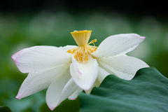 Single blooming white lotus Stock Images