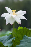 Single blooming white lotus Royalty Free Stock Photography