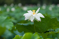 Single blooming white lotus Stock Photo