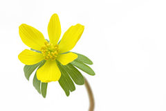 Single blooming winter aconite Stock Photo