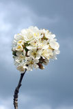 Single bloomy branch during spring Stock Photo