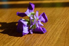 Single blossom closeup purple hoary stock matthiola incana royalty free stock photography