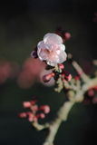 Single Blossom - pink and burgandy Royalty Free Stock Photography