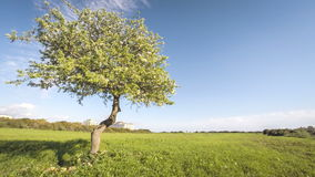 Single blossoming apple tree with clouds time lapse. UHD stock video footage
