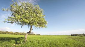 Single blossoming apple tree with clouds time. Lapse UHD stock footage