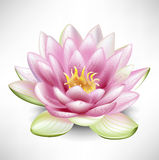 Single blossoming lotus flower Stock Images