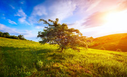 Single blossoming tree on hill and morning sky in mountain.  Stock Photography