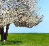 Single blossoming tree in spring Royalty Free Stock Image