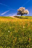 Single blossoming tree in spring. Royalty Free Stock Images