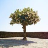 Single blossoming tree Royalty Free Stock Photo