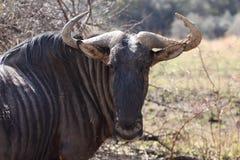 Single Blou Wildebeest Stock Photography