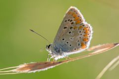 single blue azure butterfly resting on a blade of grass in summer in horizontal view on green background royalty free stock image