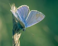 single blue azure insect butterfly profile in square close-up view in summer on green background laid on a blade of grass stock photos