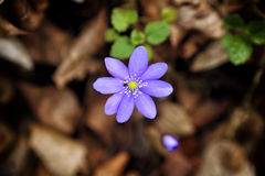 Single blue blossom with yellow center and small bug above blurred brown foliage Royalty Free Stock Photo