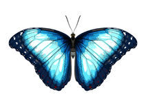Single Blue Butterfly morpho on a white background. vector illustration