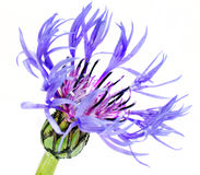 Single Blue Cornflower - Centaurea cyanus Isolated on White Royalty Free Stock Image
