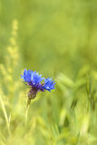Single blue cornflower in spring Royalty Free Stock Photo
